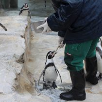 Zoo am Meer, Bremerhaven, Pinguine