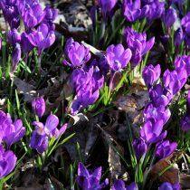 Oberneuland, Bremen, Allee, Krokusse, Natur, Blumen